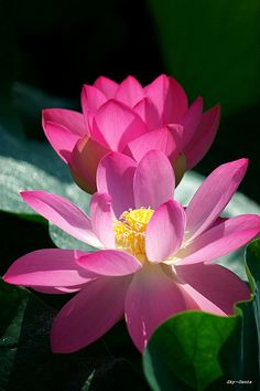 two pink lotus flowers.