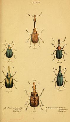 The natural history of beetles Edinburgh, Henry G. Bohn,1852