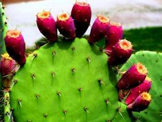 Common Desert Plants and Trees Produce Excellent Foods Prickly Pear Cactus The prickly pear cactus produces large buds of fruit that somewhat resemble a mango during the summer monsoon season. Pear Fruit, Fruit Picture, Prickly Pear Cactus, Cactus Flower, Flower Bookey, Flower Film, Flower Pots, Desert Plants, Aging Process