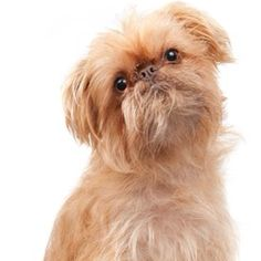 Puppy that I want! Brussels griffon!