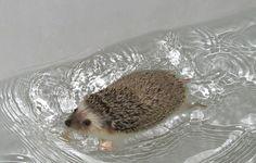 Hedgehog swimming