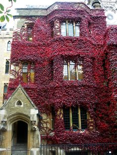 Red ivy- London UK