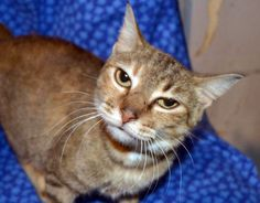 Mia-an-adoptable-cat-in-Arkansas