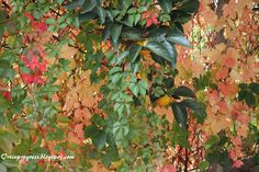 Parthenocissus quinquefolia in autunno