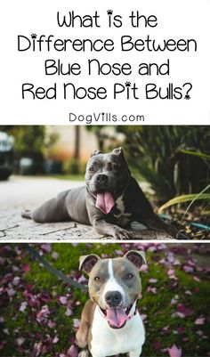What is the difference between blue nose and red nose pit bulls? You might be surprised by the answer! Check it out! #pitbull