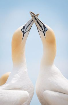 Jacques-Andre Dupont, spent three days photographing northern gannets on Bonaventure Island in the Gulf of St. Lawrence, Canada, resulting in this photograph that looks almost as if it was taken in a studio Symmetry Photography, Outdoor Photography, Wildlife Photography, Photo Animaliere, Lovers Photos, Sexy Drawings, Pictures Of The Week, Photo Competition, Watercolor Bird