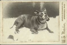 c.1890s cabinet card of Boston terrier wearing a metal, reticulated collar, and lying on a fur throw. Photo by W.S. Martin, State & Catharine Sts., Springfield, Mass. From bendale collection