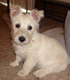 Our little Scoland Terrier(1/2 Scottie, 1/2 Westi)