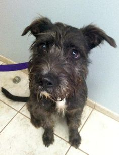 Amos the Schnauzer / Jack Russell Terrier (Parson Russell Terrier) / Mixed (long coat) Photo