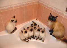 Siamese mom teaches her babies how to avoid the dreaded Bath.