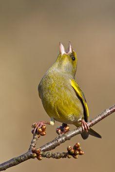 Song Thrush, Greenfinch, Kinds Of Birds, Wild Birds, Beautiful Birds, Parrot, Europe, Nature, Animals