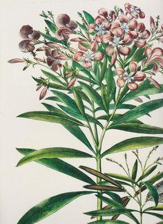 Botanical Bookplate Rose Bay Shrub Sweet Basil by saffronfields, $14.99