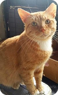 Philadelphia, PA - Domestic Shorthair. Meet Tokyo, a cat for adoption. http://www.adoptapet.com/pet/13555440-philadelphia-pennsylvania-cat