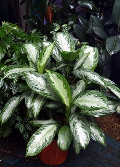 Chinese Evergreen - Aglaonema- Chinese evergreen (Aglaonema) is perhaps the best foliage plant for low light and low humidity, and it's easy to root in water! -