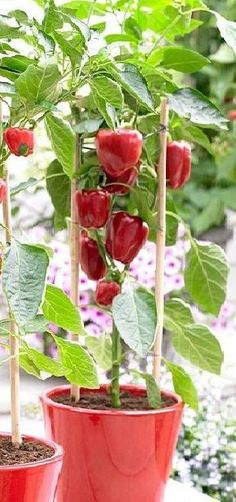 Growing bell peppers in pots.  http://balconygardenweb.com/growing-bell-peppers-in-pots-how-to-grow-peppers-in-containers/