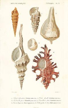1861 Shells Turbinella by Ch. Orbigny Original by sofrenchvintage