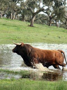 Toro bravo en el campo. Animals With Horns, Animals And Pets, Bull Pictures, Animal Pictures, Bull Painting, Taurus Bull, Bull Tattoos, Bull Cow, Bullen