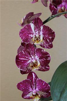 Doritaenopsis Jiuhbao Fairy