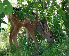 mule deer fawn | mule deer fawn