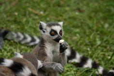 Mit den Linzer Kattas auf Du und Du - Zoo Linz :: Bustiger
