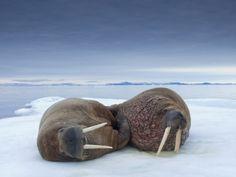 Walruses lying on ice
