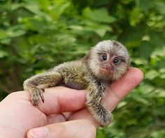 Best Places to See Baby Animals: Pygmy Marmosets, Peru