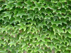 Boston ivy is fast growing and self adhering.