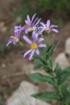 Eucephalus   Cascade Aster