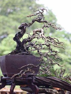 ch #bonsaitrees