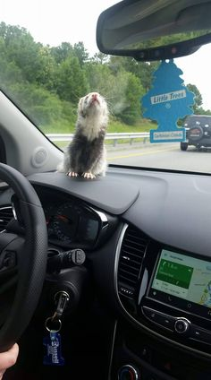 You are in the right place about Rodents memes Here we offer you the most beautiful pictures about the Rodents illustration you are looking for. When you examine the P Ferrets Care, Baby Ferrets, Funny Ferrets, Pet Ferret, Ferret Toys, Cute Little Animals, Cute Funny Animals, Cute Dogs, Long Cat