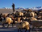 Le plus haut sommet du monde (l'Everest, 8 848 m) se détache derrière ce berger qui mène son troupeau près de Tingri