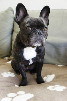 French bulldog What do you mean you don't speak French?