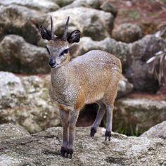 Klipspringer Antelopes Look Like They Are Walking On High Heeled Hoofs. #imgur
