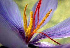 Saffron Crocus Bulbs - Crocus Sativus Plant in June-September for August-November bloom