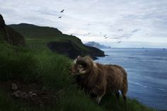 The sheep island. wild sheep on the Faroe Islands. Faroe Islands, Wildlife Photography, Sheep, Horses, Adventure, Blog, Animals, Warm, Friends