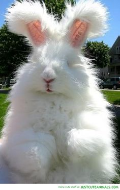 Angora Rabbit...I want him.      Mysterio would eat him.  :-(
