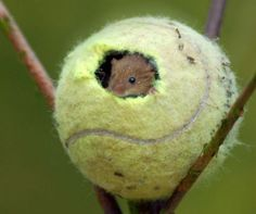 These tennis balls will not be flying around Centre Court at Wimbledon this year but have been given the unusual job of housing harvest mice instead. Hamsters, Rodents, Gerbil, Animals And Pets, Baby Animals, Funny Animals, Cute Animals, Small Animals, Felt Animals
