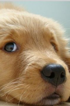 This golden retriever puppy looks like it is looking for mischief.   www.bullymake.com