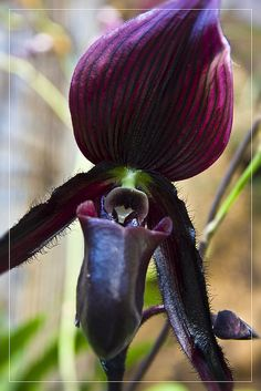 czar orchidei  by rafal kochanowski, via Flickr