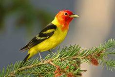 9 Best Burung Kenari Images Canary Birds Birds Beautiful Birds