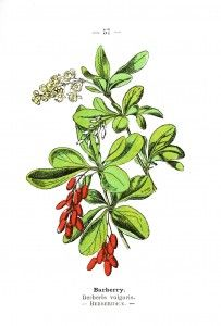 Free Printables Botanical - Barberry - Wayside and Woodland 1895 - Plate 58