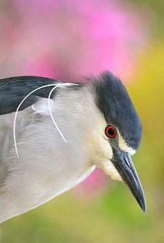 black-crowned night heron ✿⊱╮
