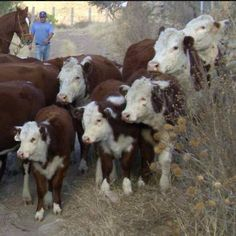 Moving Cattle I love to spend my time this way Barnyard Animals, Cute Animals, Cow Nose, Cowgirl Pictures, Hereford Cattle, Beef Cattle, Horses And Dogs, Farm Yard, Cowboy And Cowgirl