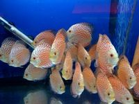CHILTON AQUATICS.THE NORTHS PREMIER AND BIGGEST AQUATIC OUTLET. THE UKS TOP CICHLID SPECIALISTS/RARE TROPICALS/DISCUS/MARINES/COLDWATER/ KOI . THE BEST FISH AT THE RIGHT PRICE WITH THE RIGHT ADVICE at Aquarist Classifieds