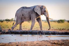 Elefante, Colmillos, África, La Vida Silvestre. Articulos Promocionales
