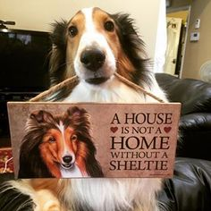 a house is not a home without a sheltie!