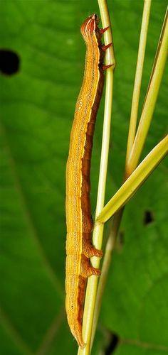 Looper Moth Caterpillar