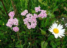 """Det finns ingen hejd på vad denna lilla blomma kan åstadkomma när det gäller hälsan! Örten rölleka har använts länge till hudvård bl a. """"Färsk och sönderstött mellan stenar pålägges den av bö… Bra Hacks, Natural Cures, Herbal Medicine, My Flower, Gardening Tips, The Balm, Herbalism, Flora, Herbs"""