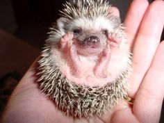 Prickly and Cute - The Difference Between a Baby Hedgehog, Baby Porcupine, and Baby Echidna Hedgehog Animal, Pygmy Hedgehog, Cute Hedgehog, Happy Hedgehog, Happy Animals, Cute Baby Animals, Funny Animals, Animal Pictures, Cute Pictures