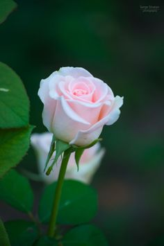 679 best flowers pink roses images on pinterest beautiful photograph single light pink rose by serge stratan on mightylinksfo